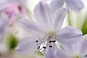 Agapanthus Silver Mist