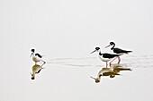 Black-necked Stilt in Eco Pond in the Everglades National Park Florida