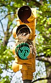 Future bird parents at their nest in a traffic signal in Central Park in New York