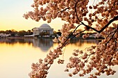 Cherry blossoms at dawn with the Jefferson Memorial beyond, Washington DC USA