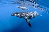 Mom and calf humpback whales off Maui, Hawaii