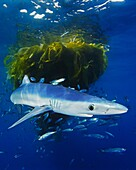 blue shark, Prionace glauca, juvenile, with school of jack mackerel, Trachurus symmetricus, under drifting kelp paddy, San Diego, California, USA, Pacific Ocean