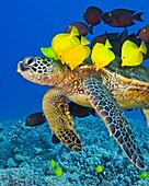 Endangered green sea turtle, Chelonia mydas, being cleaned by yellow tang, Zebrasoma flavescens, gold-ring surgeonfish, Ctenochaetus strigosus, and endemic saddle wrasse, Thalassoma duperrey, Kona Coast, Big Island, Hawaii, USA, Pacific Ocean