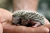 European Hedgehog, erinaceus europaeus, Babies rescued at ´la Dame Blanche´, Animal Protection Center in Normandy