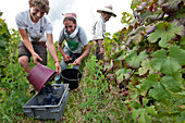 Hand Grape Picking, Pinot Noir Grapes, The Private Vineyards Of The Chateau De Pommard, Cote-D'Or (21), Burgundy, France
