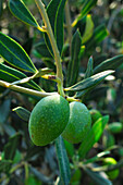 Olives On The Branches Of An Olive Tree, Fruit Rich In Vitamins A And E, Corsica, France