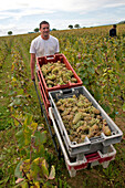 Hand Picking Of The Grapes, Burgundy White, Huber-Verdereau Vineyards, Volnay, Cote-D'Or (21), Burgundy, France