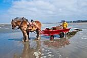 'Europe, Belgium, North Sea, Western Flanders, Oostduinkerke, Gillis Scottlaan street, the shrimp fisherman Marius Dujardin and his plough horse ''Fanny'''