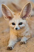 'North Africa, Tunisia, Tozeur province, Tozeur, the botanical and zoological gardens ''Le Paradis'', a fennec'
