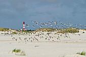 Lighthouse and sea gulls, near Nebel, Amrum, North Frisian Islands, Schleswig-Holstein, Germany
