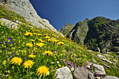 Multi-coloured alpine meadow in front of mountains, Tieralplistock, Urner Alps, Bernese Oberland, Bern, Switzerland