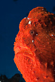 Red Giant Frogfish, Antennarius commersonii, North Male Atoll, Maldives