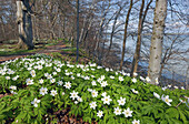 Blooming wood anemones at the coast of Vilm island, Baltic coast, Mecklenburg Western Pomerania, Germany, Europe