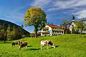 Fleckvieh cattle in front of a farmhouse, Jachenau, Bavarian foothills, Upper Bavaria, Bavaria, Germany