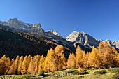 Northern Brenta range seen above larch trees in autumn colors, Brenta range, Dolomites, UNESCO World Heritage Site Dolomites, Trentino, Italy