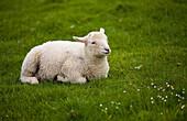 Irish lamb sitting  County Kerry, Ireland