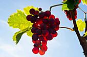 Backlit grapes, roter Gutedel, Markgraeflerland, Black Forest, Baden-Wuerttemberg, Germany, Europe