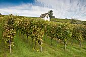 Vineyard under clouded sky, Efringen-Kirchen, Markgraeflerland, Black Forest, Baden-Wuerttemberg, Germany, Europe