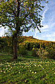 Hohenzollern Castle and orchard meadow, Hechingen, Swabian Alp, Baden-Wuerttemberg, Germany, Europe