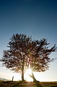 Backlit beech trees, Schauinsland, near Freiburg im Breisgau, Black Forest, Baden-Wuerttemberg, Germany, Europe
