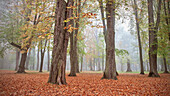 Trees in foggy autumn, leaves on the ground, Leipheim around Günzburg, Schwaben, Bavaria, Germany