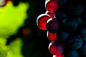 Red wine grapes at the Lago di Garda, Province of Verona, Northern Italy, Italy