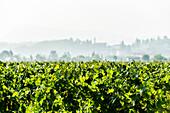 Vineyards near Garda, Lago di Garda, Province of Verona, Northern Italy, Italy