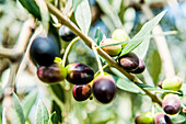 Olive tree with olive fruits, Lago di Garda, Province of Verona, Northern Italy, Italy