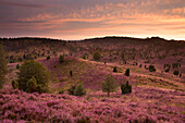Juniper and blooming heather in the morning, Totengrund, Lueneburg Heath, Lower Saxony, Germany, Europe