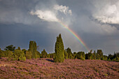 Rainbow over heather, Lueneburg Heath, Lower Saxony, Germany, Europe