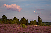 Moon above juniper and blooming heather, Lueneburg Heath, Lower Saxony, Germany, Europe