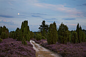 Juniper and heather at moonlight, Lueneburger Heide, Lower Saxony, Germany