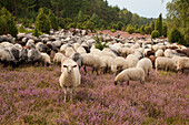 Sheep at Lueneburger Heide, Lower Saxony, Germany