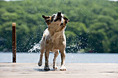 Dog shaking water off fur on dock. Jack Russell Terrier after a swim