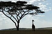 Silhouette of a Giraffe under an acacia.