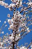 branch peach tree flower on blue background