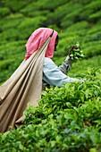 India, Kerala state, Munnar, tea plantations, Tamil worker