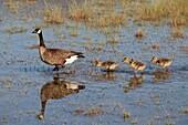 Canada Goose, Branta Canadensis -, Anchorage Coastal Wildlife Refuge, Potter Marsh, Alaska, U S A
