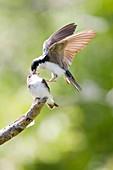 Tree Swallow, Tachycineta bicolor -, Potter Marsh, Anchorage coastal wildlife refuge, Anchorage, Alaska, U S A