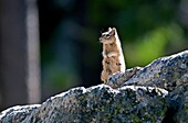 Sawtooths, Golden Mantled Ground Squirrel at Lady Face Falls in the Sawtooth Mountains near the town of Stanley in central Idaho