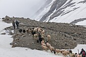 Transhumance, the great sheep trek across the main alpine crest in the Otztal Alps between South Tyrol, Italy, and North Tyrol, Austria  This very special sheep drive is part of the intangible cultural heritage of the austrian UNESCO Commission  App 2000.
