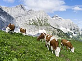Cattle on high pasture in Karwendel Mountain Range in front of the vertical north face of the North faces of the main Karwendel ridge  Transhumance is still the backbone of alpine cattle farming  Europe, Central Europe, Austria, Tyrol, July