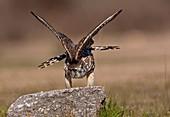 Merlin Falco columbarius stretching, Athens Greece
