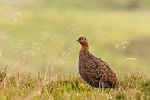 A Red Grouse  Lagopus lagopus scoticus  with heavy rain falling in moorland, Yorkshire Dales, England, Uk