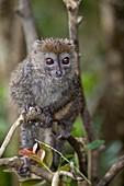Gray Bamboo Lemur Hapalemur griseus sitting on branch, Andasibe, Madagascar