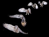 European Eagle Owl, asio otus, Adult in Flight, Step by Step