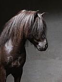 Icelandic Stallion with Mane Over Eyes, Iceland