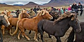 Annual Horse Round Up-Laufskalarett, Skagafjordur, Iceland Farmers keep up a long tradition of letting their horses roam around freely in the commons during the summer  Every autumn horses are rounded up and sorted