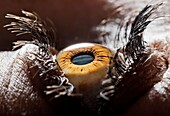 body, close-up, color image, concept, cornea, eye, human, iris, looking, macro, seeing, sight, vision, YX7-1745582, AGEFOTOSTOCK