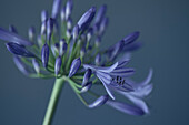 Purple Agapanthus Flower